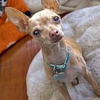 Chihuahua Mix Dog for adoption in North Hollywood, California - Vivi