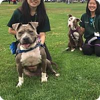 Adopt A Pet :: Ambassador Jayda - Los Angeles, CA