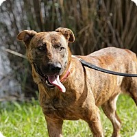 Dutch Shepherd/Labrador Retriever Mix Dog for adoption in Hialeah, Florida - Roxy
