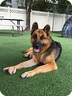 German Shepherd Dog Dog for adoption in Ft Myers Beach, Florida - Help Mr.