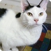Domestic Shorthair Cat for adoption in North Highlands, California - Scruffy