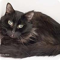 Adopt A Pet :: Wooly Bear - Merrifield, VA