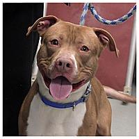 Adopt A Pet :: Bandit - Yonkers, NY