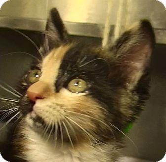 Domestic Shorthair Kitten for adoption in El Cajon, California - Cynthia