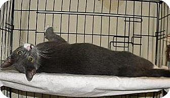 Domestic Shorthair Kitten for adoption in Miami, Florida - Spunky