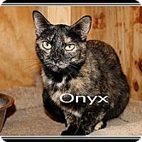 Domestic Shorthair Cat for adoption in Wichita Falls, Texas - Onyx