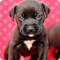 Adopt A Pet :: Litter of Black Puppies - Reisterstown, MD