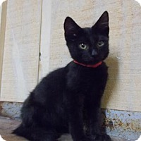 Domestic Shorthair Cat for adoption in Amory, Mississippi - Spunky