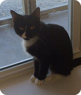 Domestic Shorthair Kitten for adoption in Greensburg, Pennsylvania - Autumn