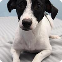 Adopt A Pet :: Petra - Jupiter, FL