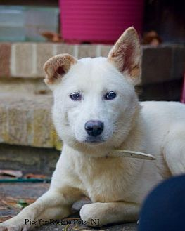 Jindo Dog for adoption in Spring Lake, New Jersey - Plum