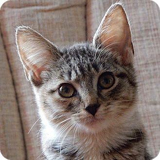 Domestic Shorthair Kitten for adoption in Long Beach, New York - Molly
