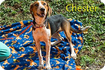 Hound (Unknown Type) Mix Dog for adoption in Broadway, New Jersey - Chester