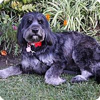 Adopt A Pet :: SHAY - Newport Beach, CA