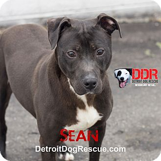 American Pit Bull Terrier Mix Dog for adoption in St. Clair Shores, Michigan - Sean