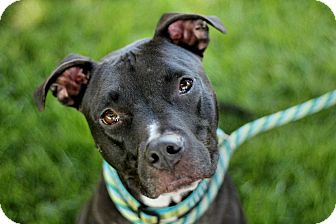 American Staffordshire Terrier/Boston Terrier Mix Dog for adoption in Burbank, California - Mageera - Great w/ Cats & Dogs