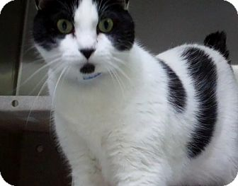 Domestic Shorthair Cat for adoption in Los Angeles, California - Momo - see video!