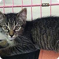 Adopt A Pet :: Daisy - Island Park, NY