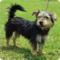 Adopt A Pet :: *Lipton - PENDING - Westport, CT