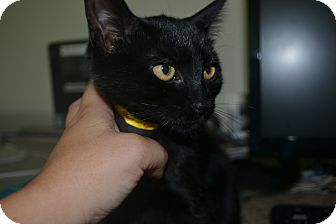 Domestic Shorthair Kitten for adoption in East Smithfield, Pennsylvania - Blanche
