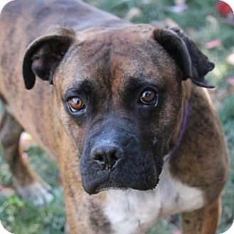 Boxer Mix Dog for adoption in Denver, Colorado - Tony