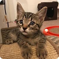 Adopt A Pet :: Tristan - Gainesville, FL