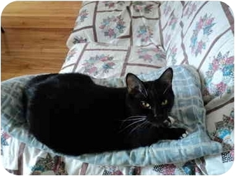 Domestic Mediumhair Cat for adoption in Montreal, Quebec - Ti-Two