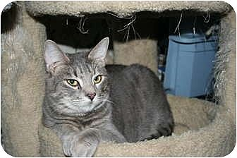 Domestic Shorthair Cat for adoption in Santa Rosa, California - Stewart