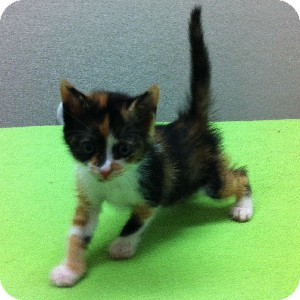 Calico Kitten for adoption in Gilbert, Arizona - Dakota
