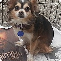 Adopt A Pet :: Crumpet - Santa Monica, CA