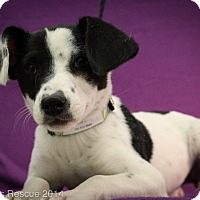 Adopt A Pet :: Polka Dot - Broomfield, CO