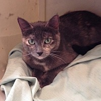 Domestic Shorthair Cat for adoption in Wichita Falls, Texas - Chessie