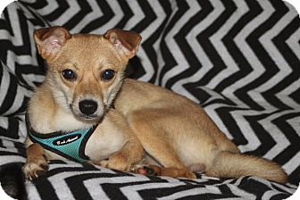 Jindo Mix Dog for adoption in LEXINGTON, Kentucky - CINDY