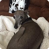 Adopt A Pet :: Maximus in San Antonio - Argyle, TX