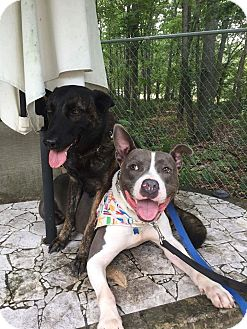 Pit Bull Terrier Mix Dog for adoption in Jackson, New Jersey - Brotus