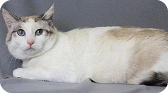 Siamese Cat for adoption in Blackwood, New Jersey - Ava