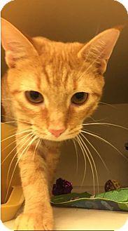 Domestic Shorthair Kitten for adoption in Grand Ledge, Michigan - Ru
