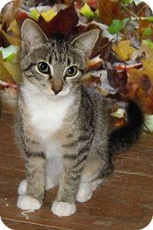 Domestic Shorthair Kitten for adoption in McEwen, Tennessee - Summer