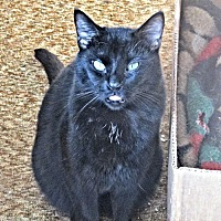 Domestic Shorthair Cat for adoption in Williston Park, New York - Thomas