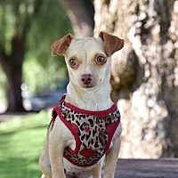 Chihuahua/Terrier (Unknown Type, Small) Mix Dog for adoption in Los Angeles, California - Petunia