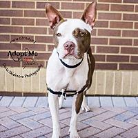 Pit Bull Terrier Mix Dog for adoption in Charlotte, North Carolina - Chomper