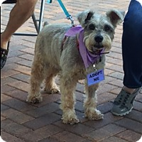 Adopt A Pet :: MAX THE SCHNAUZER - Fort Lauderdale, FL