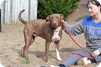 Labrador Retriever/Pointer Mix Dog for adoption in Acworth, Georgia - Topaz