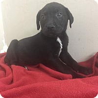 Adopt A Pet :: Blk lab pup - Pompton Lakes, NJ