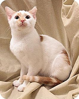 Domestic Shorthair Cat for adoption in Fishers, Indiana - Sofie