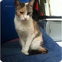 Adopt A Pet :: Sweet Pea - Montreal, QC