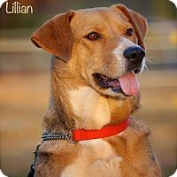 Adopt A Pet :: Lillian - Albany, NY