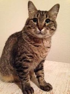 Domestic Shorthair Cat for adoption in McKinney, Texas - Katie