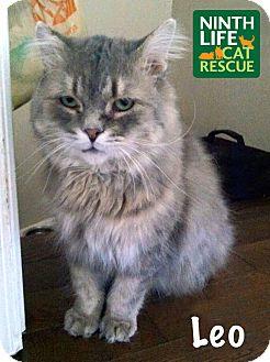 Domestic Mediumhair Cat for adoption in Oakville, Ontario - Leo