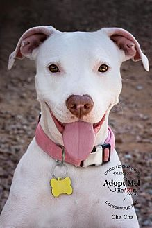 Pit Bull Terrier/Labrador Retriever Mix Dog for adoption in Chandler, Arizona - CHA CHA